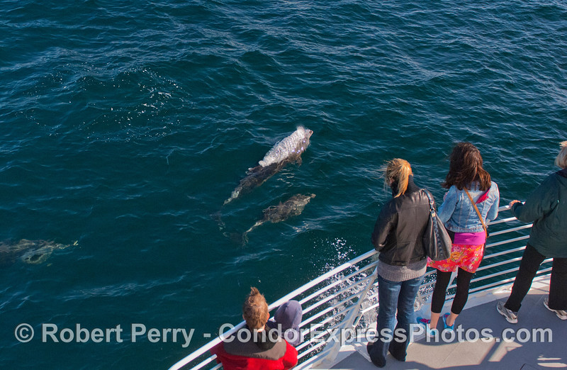 Offshore Bottlenose Dolphins (<em>Tursiops truncatus</em>) [a mother an her calf are seen here] love to ride the bow of the boat and so do the passengers.