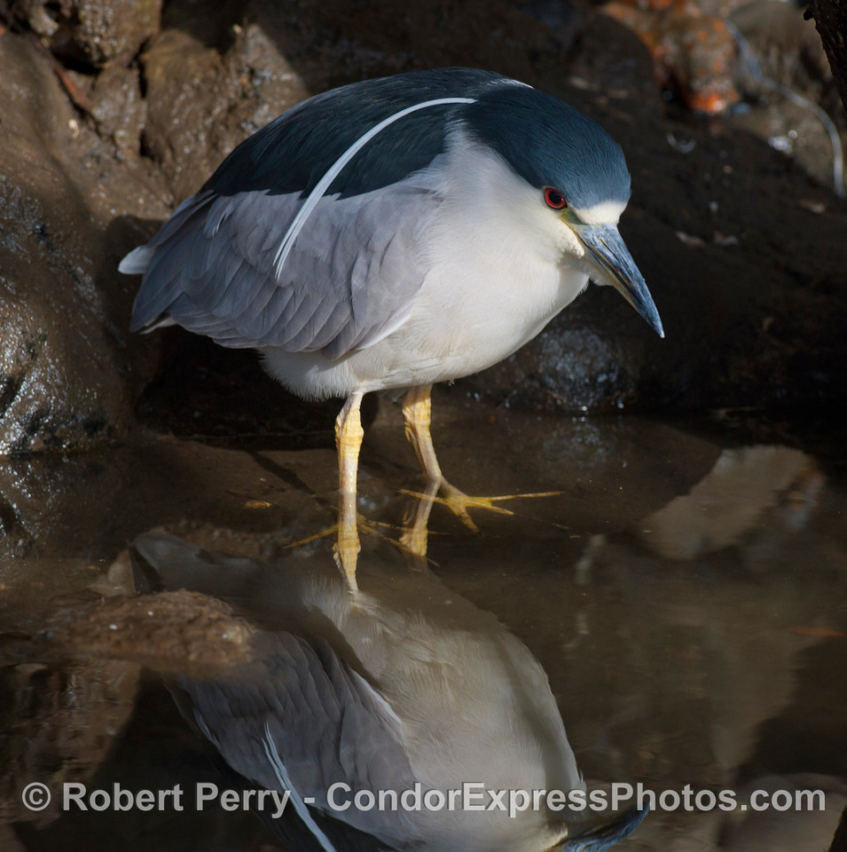 Portrait of a Black-Crowned Night Heron (Nycticorax nycticorax).