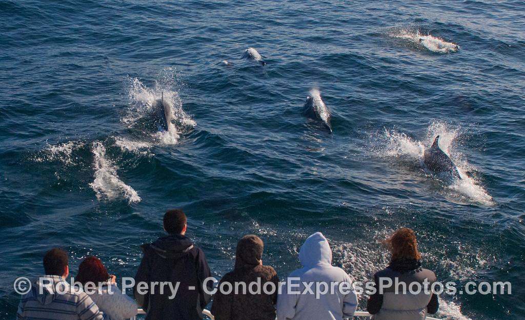 Offshore Bottlenose Dolphins (<em>Tursiops truncatus</em>) riding the bow.