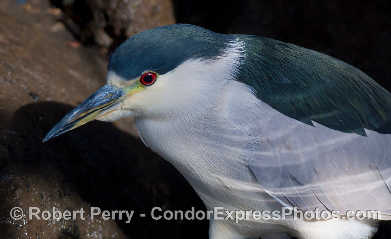 A close look at a Black-Crowned Night Heron (<em>Nycticorax nycticorax</em>) on the prowl.