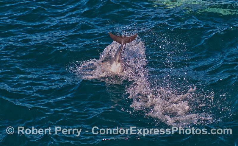 A lob-tailing Long-beaked Common Dolphin (<em>Delphinus capensis</em>).