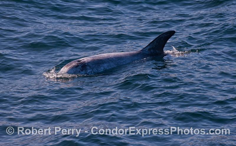 A Risso's Dolphin (<em>Grampus griseus</em>).