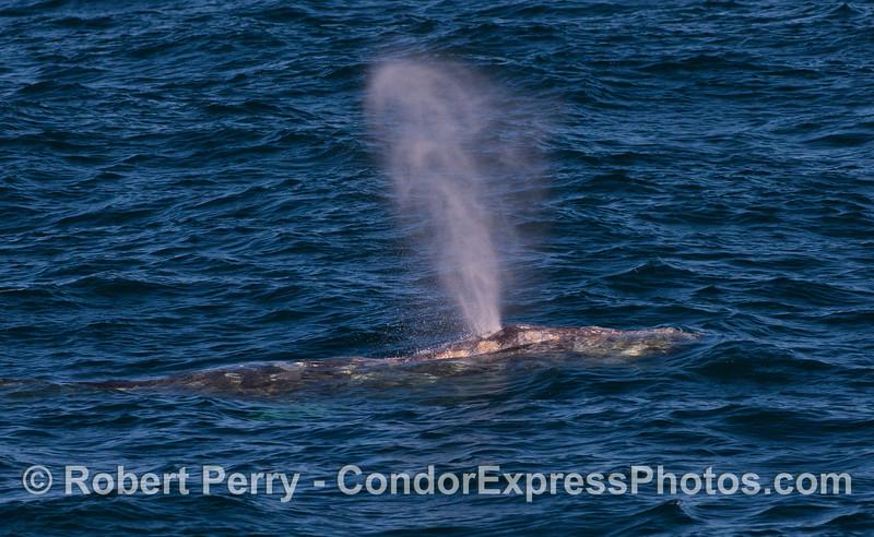 A spouting Gray Whale (<em>Eschrichtius robustus</em>).