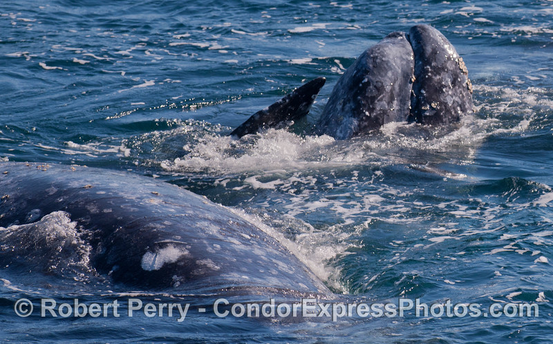 Three Gray Whales (<em>Eschrichtius robustus</em>) mix it up.