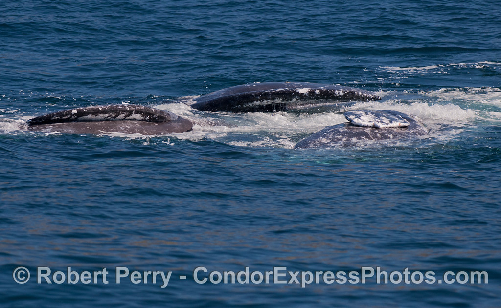 Three Gray Whales (<em>Eschrichtius robustus</em>) all laying on their sides.  Whaaa?