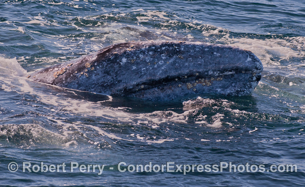 Right side of a Gray Whale (<em>Eschrichtius robustus</em>) head.