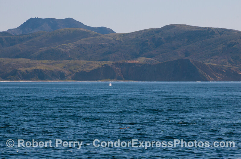 Gray Whale (<em>Eschrichtius robustus</em>) spout in the distance.