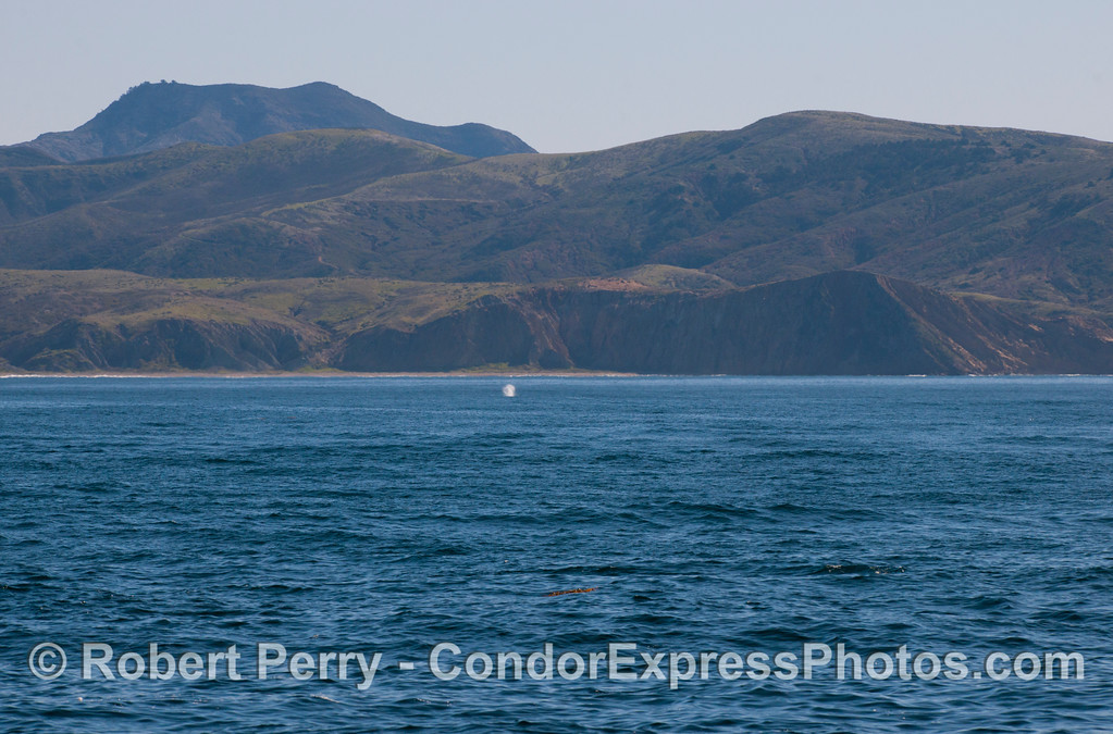 Gray Whale (<em>Eschrichtius robustus</em>) spout in the distance.