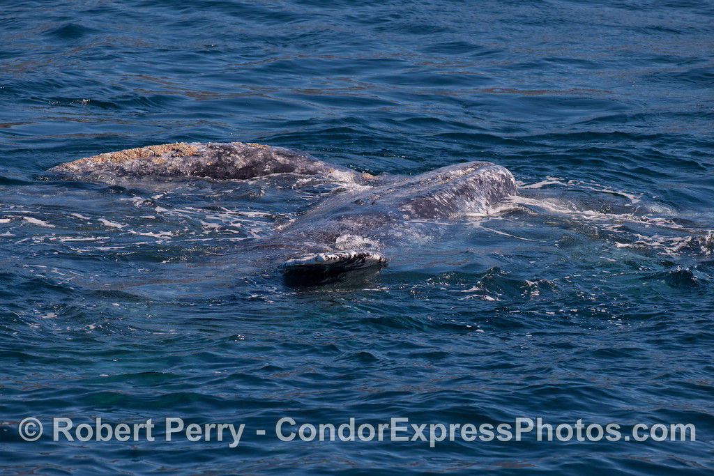 One Gray Whale (<em>Eschrichtius robustus</em>) is see lying on its left side on top of another Gray Whale.