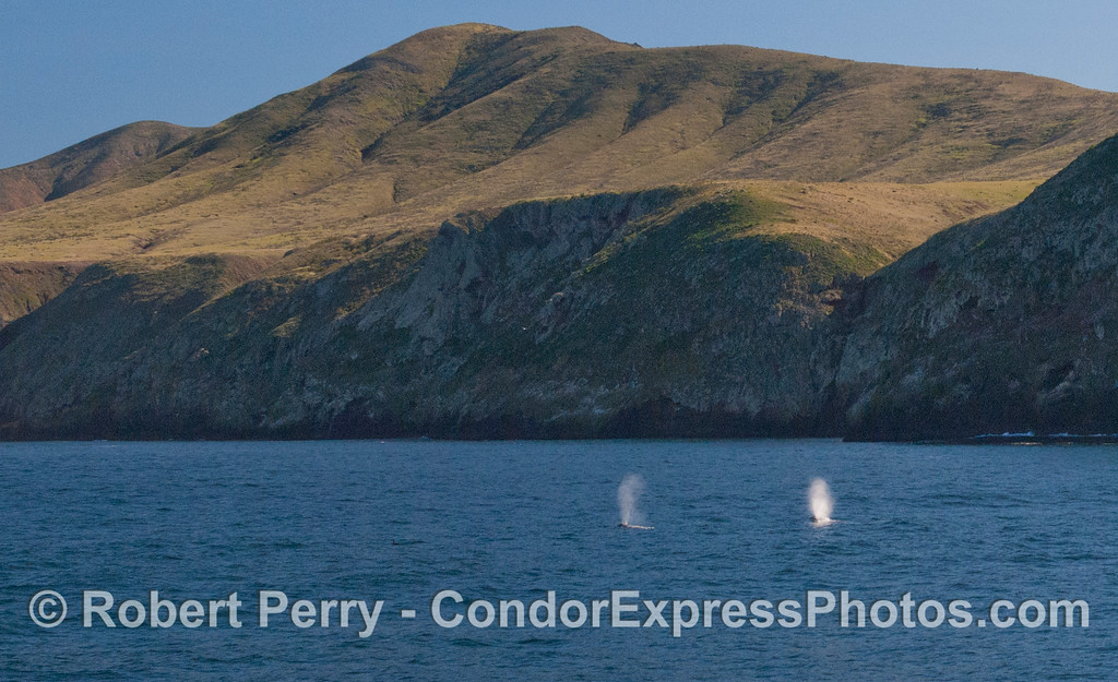 Two Gray Whales (<em>Eschrichtius robustus</em>) spouting near Santa Cruz Island.