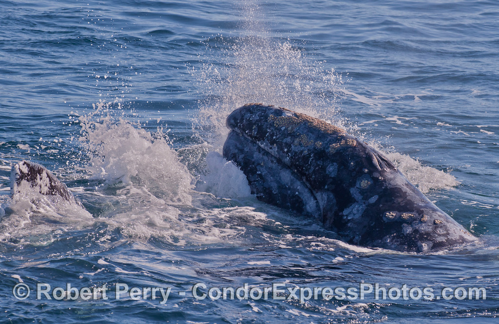 One Gray Whale (<em>Eschrichtius robustus</em>) atop another, with some splashing around.