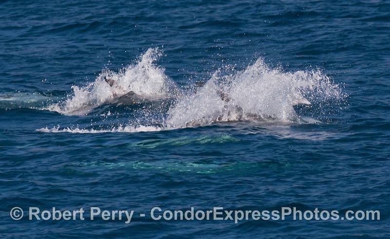 Risso's Dolphins (<em>Grampus griseus</em>) on the move!