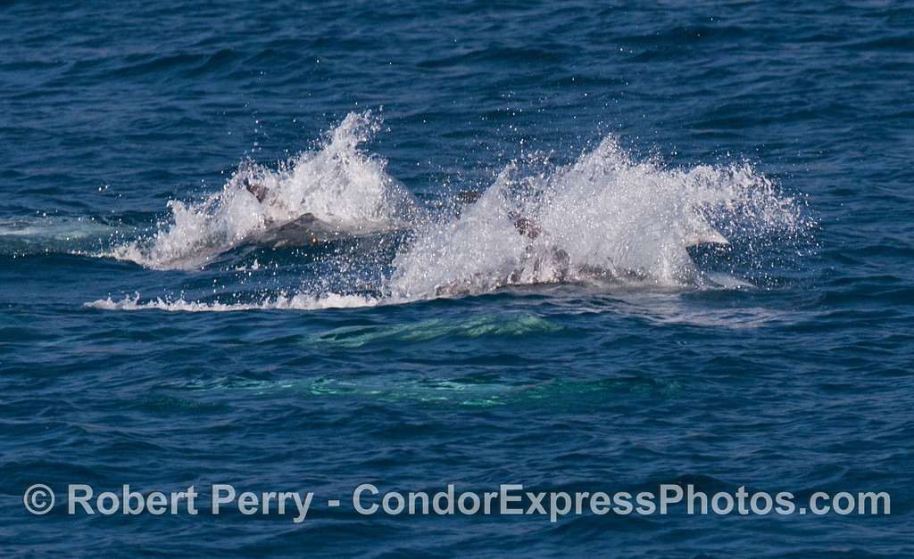 Risso's Dolphins (<em>Grampus griseus</em>) on the move!