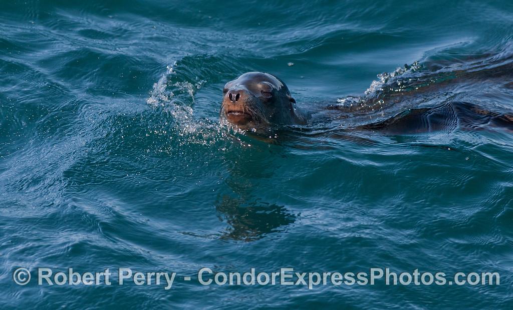 California Sea Lion (<em>Zalophus californianus</em>).