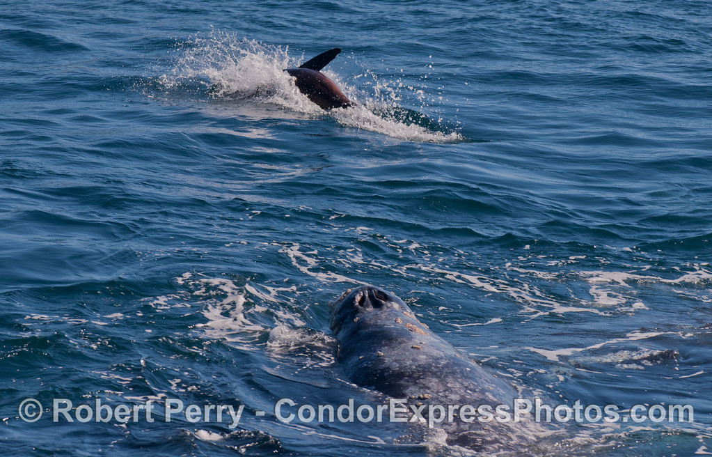 A Gray Whale (<em>Eschrichtius robustus</em>) and a California Sea Lion (<em>Zalophus californianus</em>).