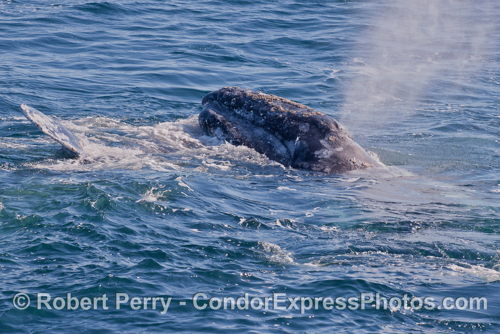 One Gray Whale (<em>Eschrichtius robustus</em>) atop another.
