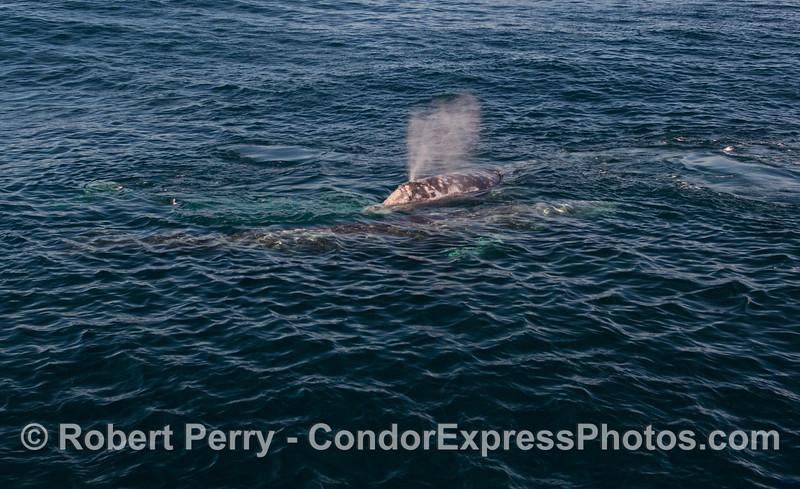 Three Gray Whales (<em>Eschrichtius robustus</em>) mess around.