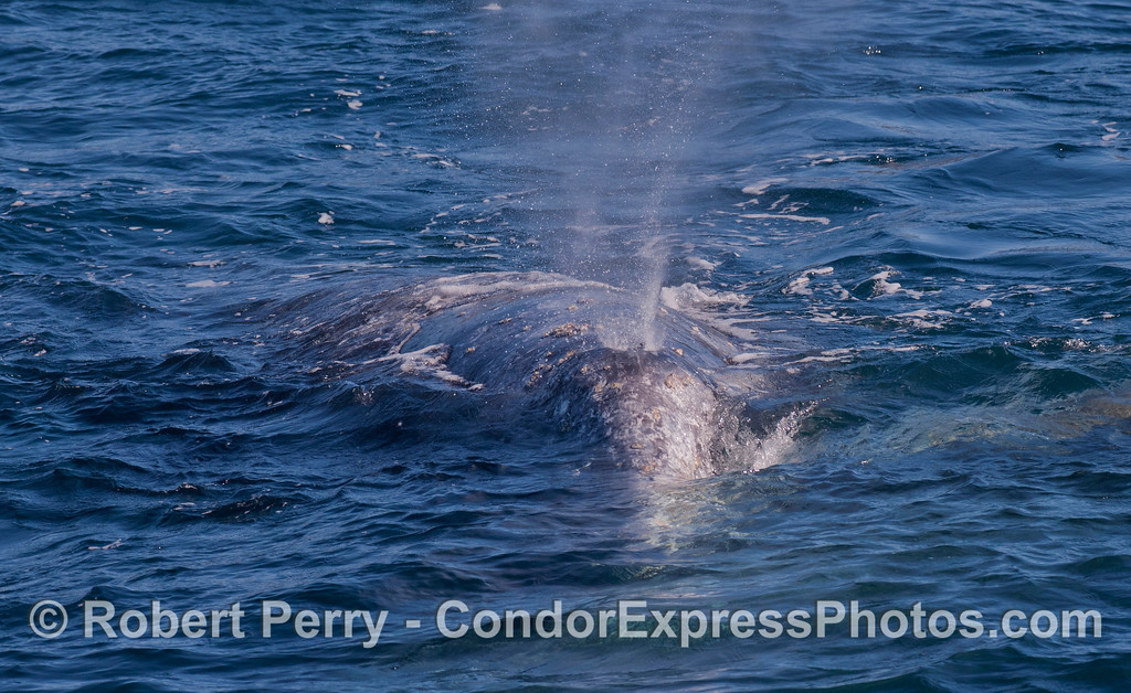 Head shot - Gray Whale (<em>Eschrichtius robustus</em>).