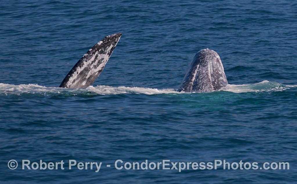 Two  Gray Whales (<em>Eschrichtius robustus</em>) frolic.