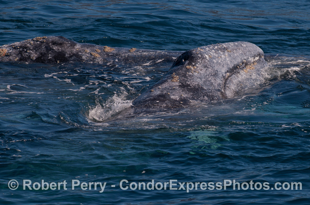One Gray Whale (Eschrichtius robustus) atop another.