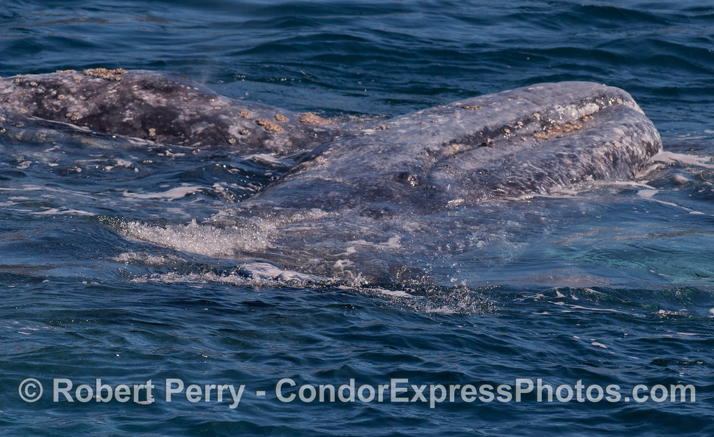 One Gray Whale (Eschrichtius robustus), laying on its left side, atop another.  Note the eyeball looking at you.