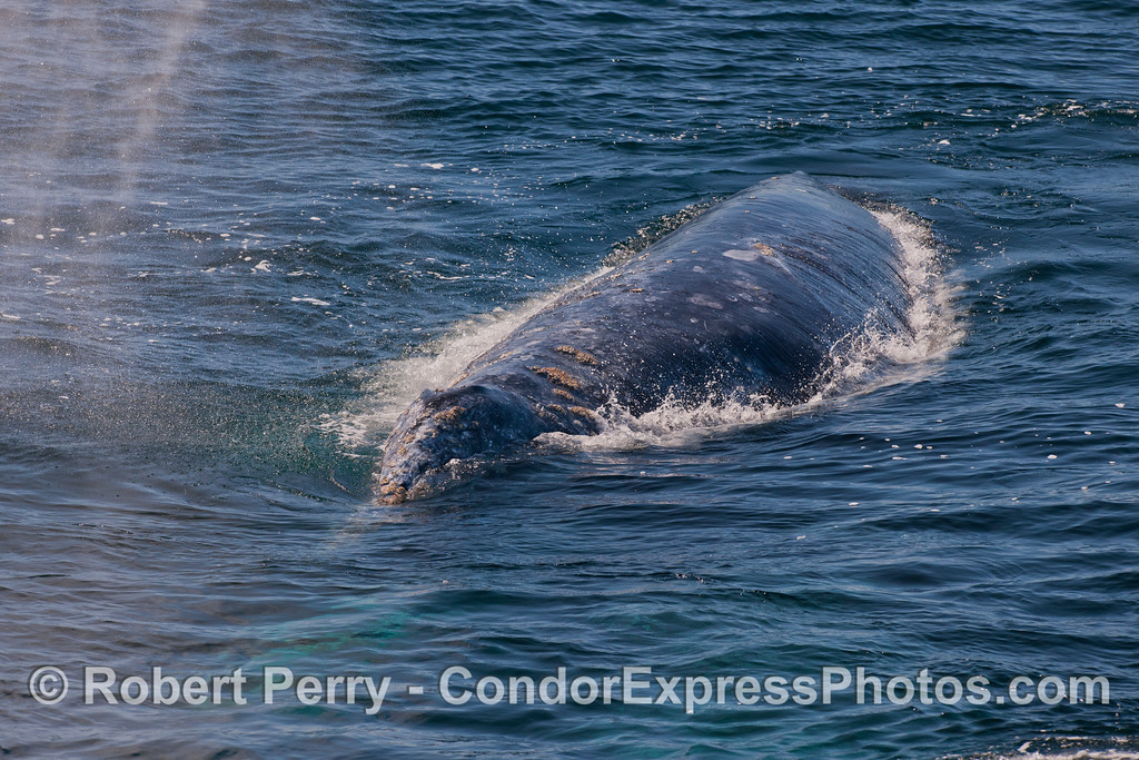 Gray Whale (<em>Eschrichtius robustus</em>) heading at the camera.
