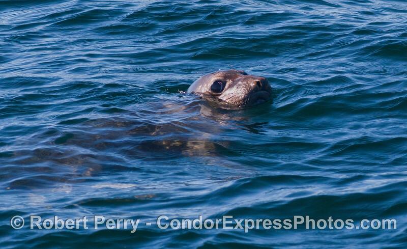 Northern Elephant Seal (<em>Mirounga angustirostris</em>).