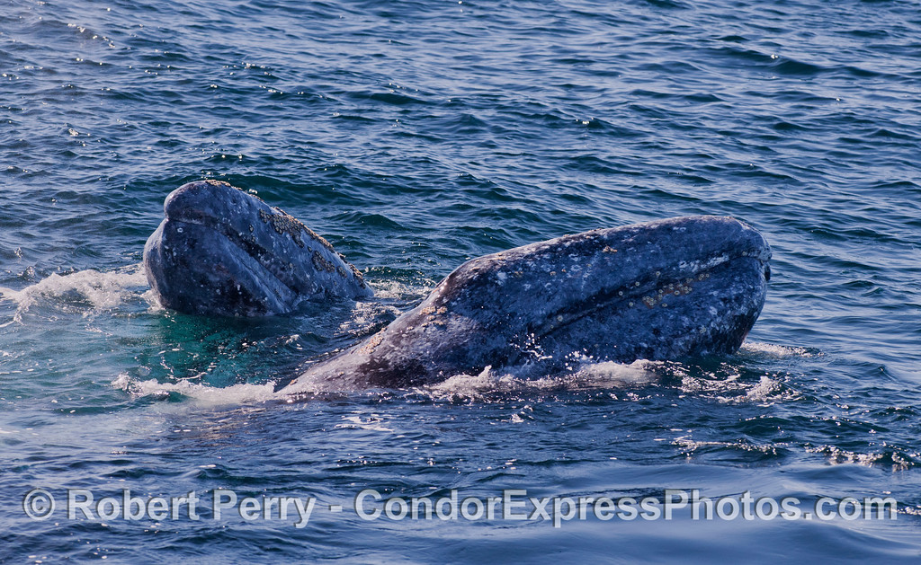 Two friendly Gray Whales (<em>Eschrichtius robustus</em>) spy hop at the same time.  There were actually three whales fooling around with Risso's Dolpins (<em>Grampus griseus</em>) nearby.