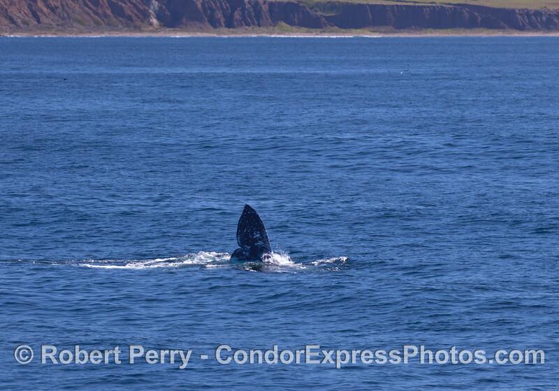 Tail of a Gray Whale (<em>Eschrichtius robustus</em>) near Santa Cruz Island.