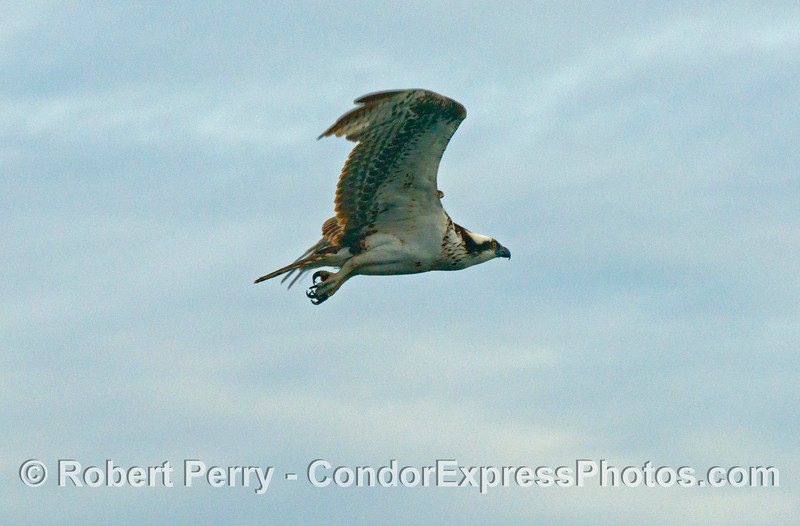 An osprey (<em>Pandion haliaetus</em>) in flight.
