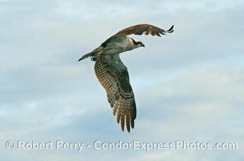 An osprey (<em>Pandion haliaetus</em>) in flight.