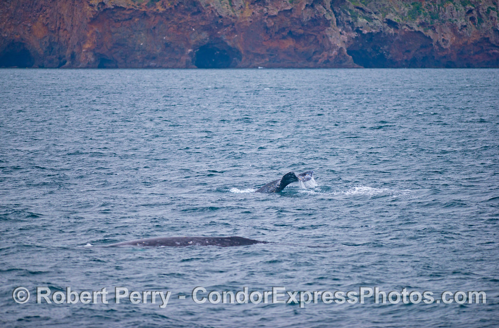 Two southbound gray whales (<em>Eschrichtius robustus</em>) with the sea cliffs of Santa Cruz Island in the background.