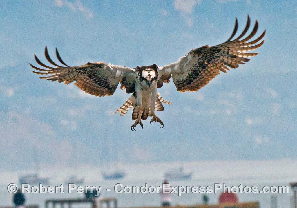 An osprey (<em>Pandion haliaetus</em>) in flight, preparing for landing on the Santa Barbara Harbor dredge, <em>La Encina</em>.