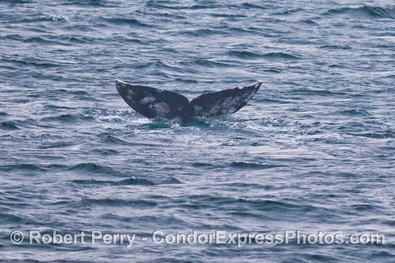 Tail fluke of a gray whale (<em>Eschrichtius robustus</em>) heading for a deeper dive.
