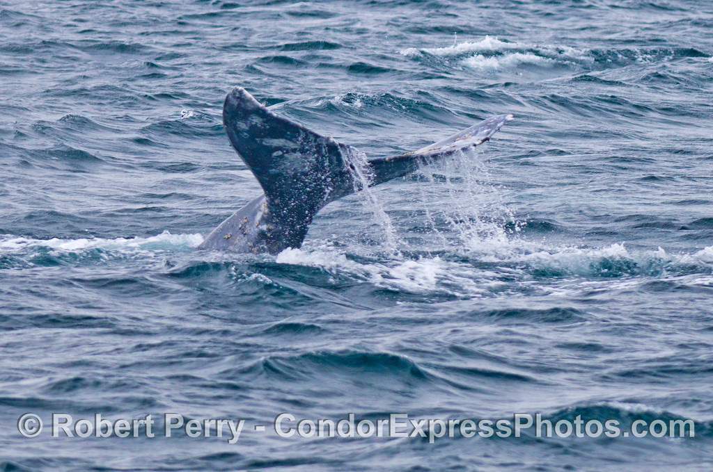 Tale of the whale:  a southbound gray whale (<em>Eschrichtius robustus</em>).