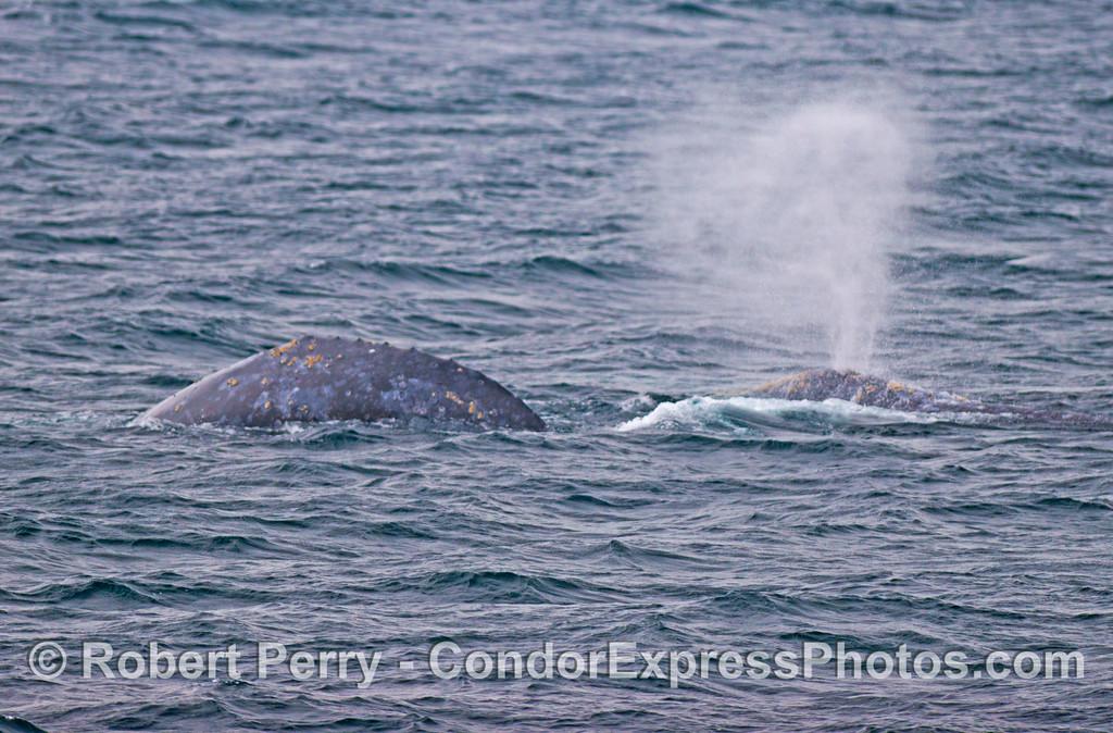 Two southbound gray whales (<em>Eschrichtius robustus</em>).