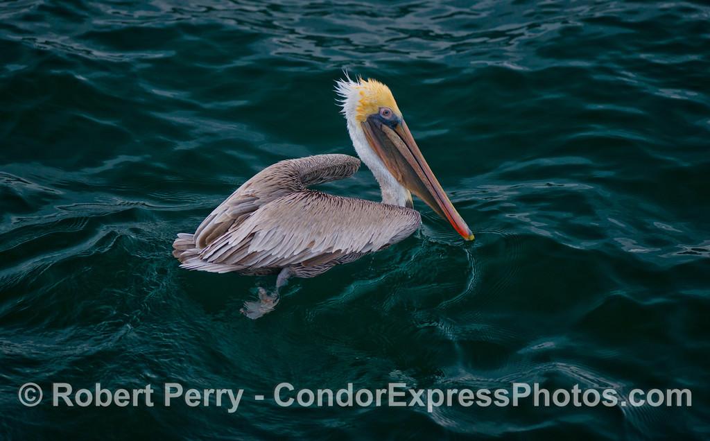 A friendly brown pelican (<em>Pelecanus occidentalis </em>).