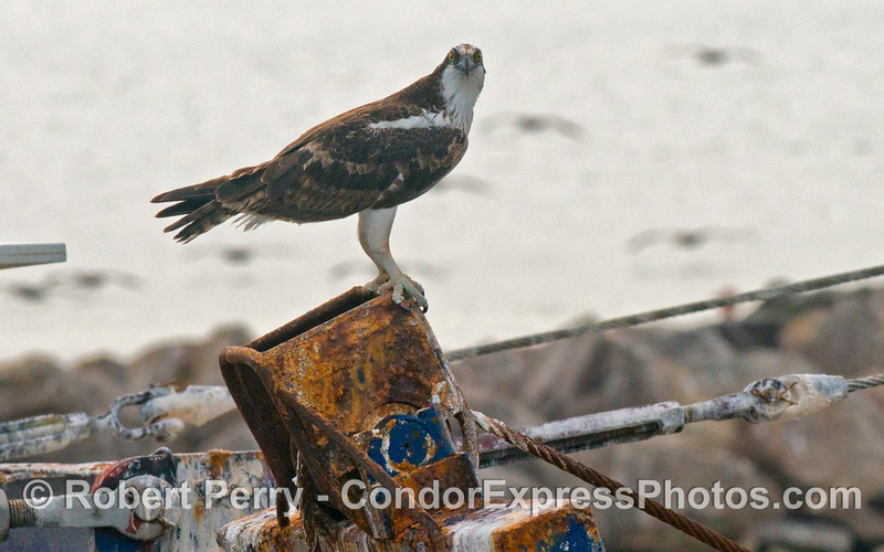 An osprey (<em>Pandion haliaetus</em>) perched on the Santa Barbara Harbor dredge, <em>La Encina</em>.