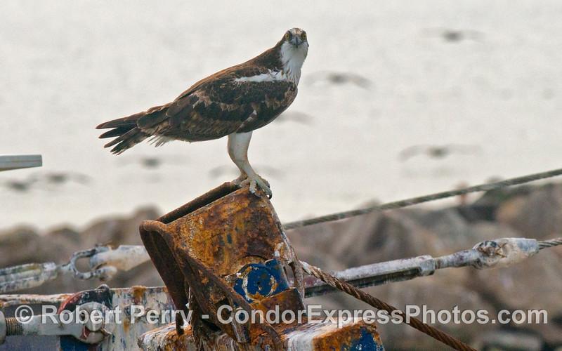 An osprey (<em>Pandion haliaetus</em>) perched on the Santa Barbara Harbor dredge, <em>La Encina</em>.