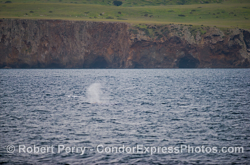 A lone southbound gray whale (<em>Eschrichtius robustus</em>) alongside the wintery green slopes and cliffs of Santa Cruz Island.