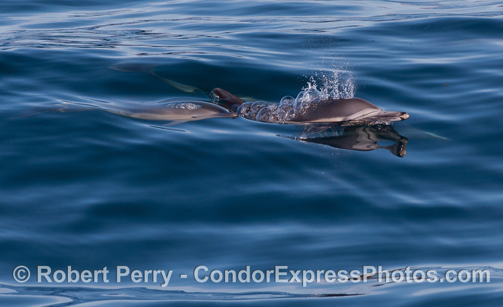 Mother (up) and calf (down) Long-Beaked Common Dolphins (<em>Delphinus capensis</em>) spout together.
