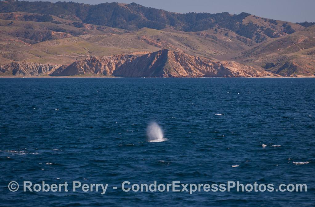 A Gray Whale (<em>Eschrichtius robustus</em>) at Santa Cruz Island.