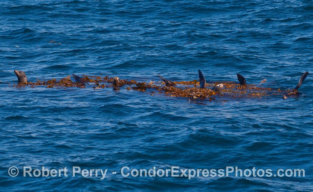 California Sea Lions (<em>Zalophus californianus</em>) relax in a comfortable Giant Kelp paddy (<em>Macrocystis pyrifera</em>).