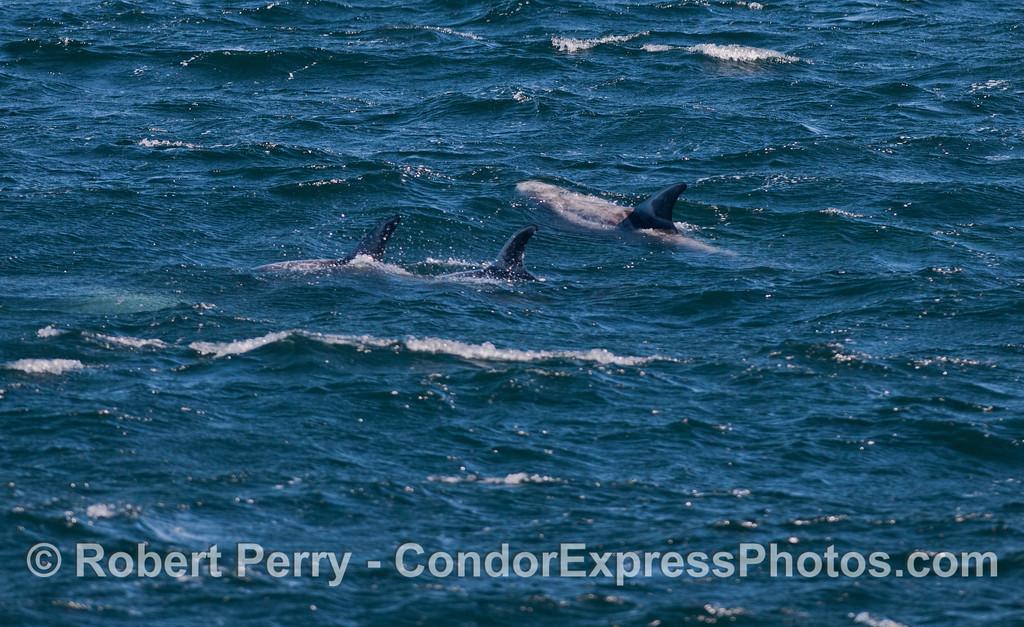 Risso's Dolphins (<em>Grampus griseus</em>) on a choppy surface.