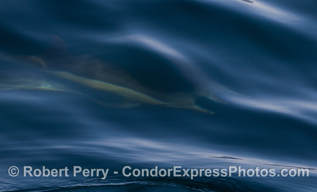 An abstract with Common Dolphins (<em>Delphinus capensis</em>).