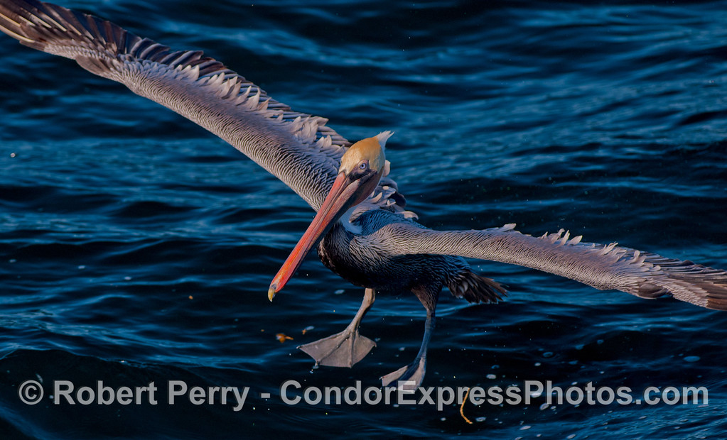 A Brown Pelican (<em>Pelelcanus occidentalis</em>) catches the afternoon sunlight as it comes in for a landing on the water.