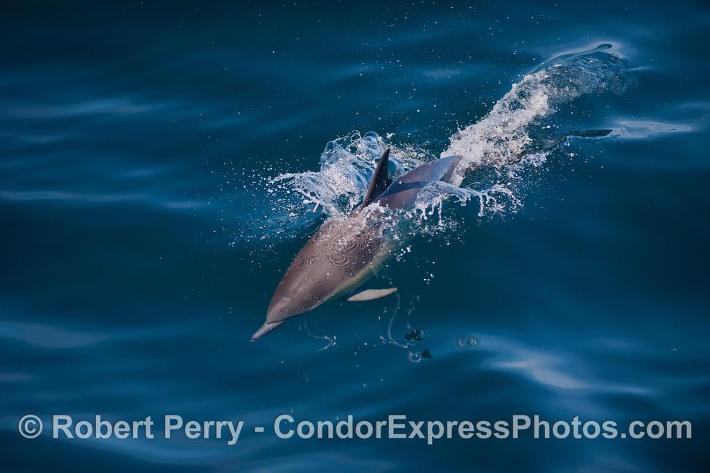 Long-Beaked Common Dolphin (<em>Delphinus capensis</em>).