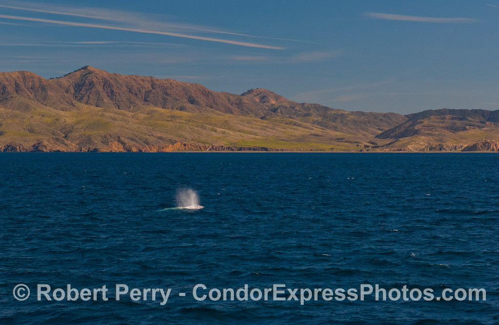 A Gray Whale (<em>Eschrichtius robustus</em>) spouts with beautiful Santa Cruz Island in the background.  You can just barely see the buildings at Christie Ranch to the right.
