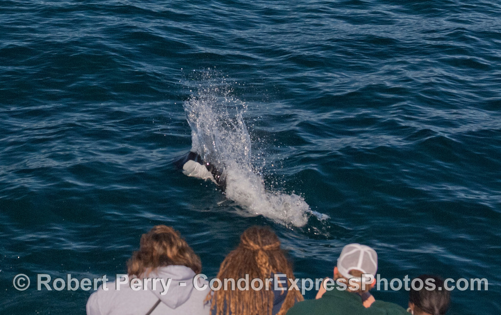 A Dall's Porpoise (<em>Phocoenoides dalli</em>) pays a friendly visit to the whale watchers on board the Condor Express.