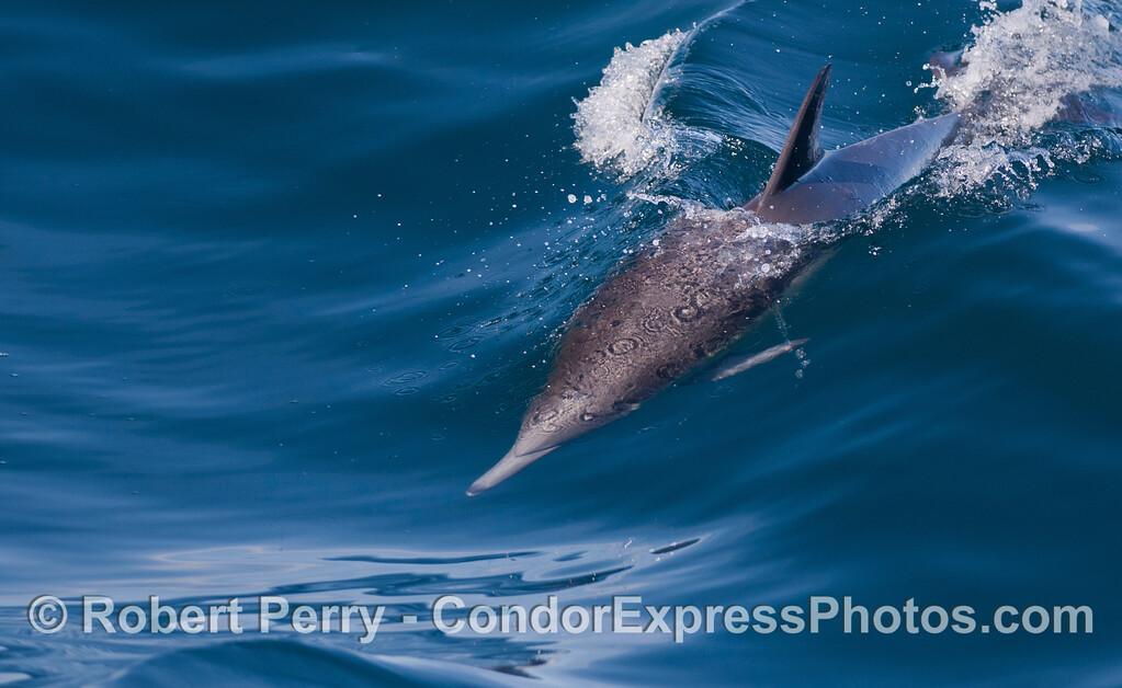 Long-Beaked Common Dolphin (<em>Delphinus capensis</em>) on a wave.